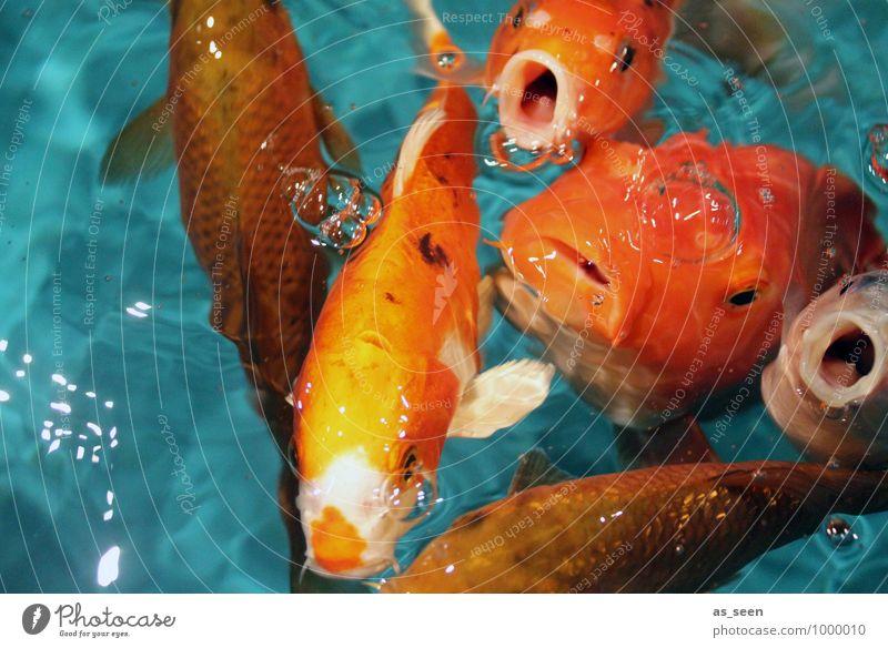 Hungääär Natur Farbe Tier lustig Schwimmen & Baden orange leuchten authentisch nass Tiergruppe Neugier Fisch Flüssigkeit Appetit & Hunger türkis Tiergesicht