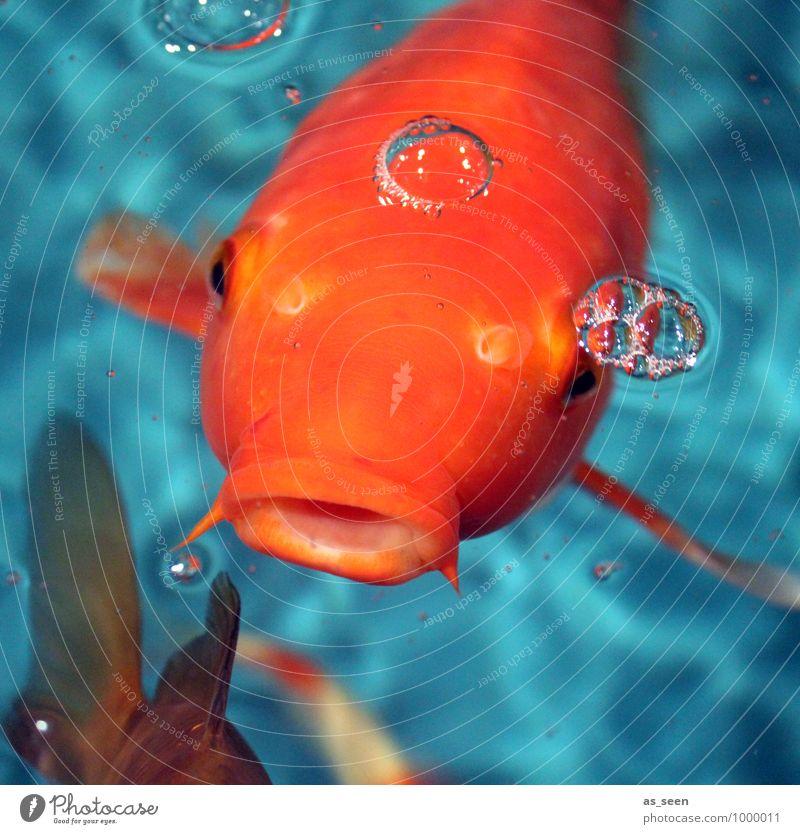 Hicks I 400 Natur Farbe Tier lustig Schwimmen & Baden orange leuchten groß genießen Neugier Fisch Flüssigkeit Appetit & Hunger türkis Tiergesicht exotisch