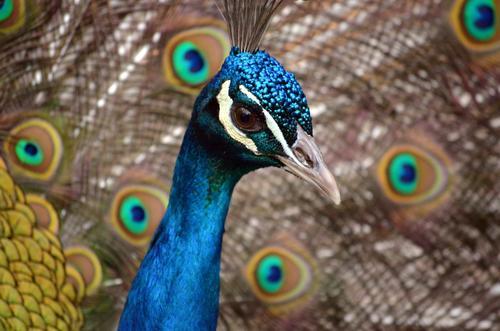 Pfauenauge Natur blau Pflanze schön grün weiß Tier schwarz gelb braun Vogel elegant gold ästhetisch beobachten Begeisterung