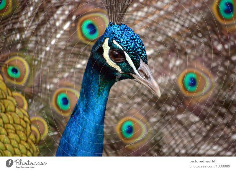 Pfauenauge Natur Pflanze Tier Vogel 1 beobachten elegant blau braun mehrfarbig gelb gold grün schwarz weiß Begeisterung ästhetisch schön Pfauenfeder Farbfoto