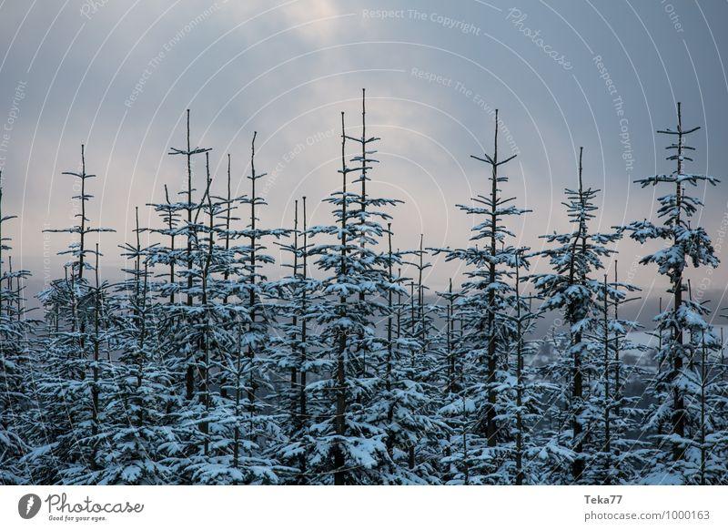 Wintertannen 1 Natur Ferien & Urlaub & Reisen Winter Wald Umwelt Schnee Schneefall Eis ästhetisch Frost