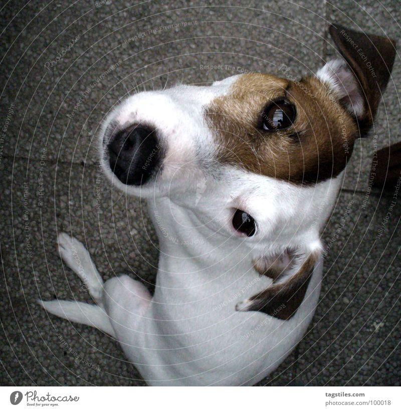 Hyperaktiv in ruhig Aktion Terrier Russell braun weiß Vogelperspektive grau Hund hören Ohr Knopfauge Schnauze Spitzel Metallfeder Vertrauen Säugetier