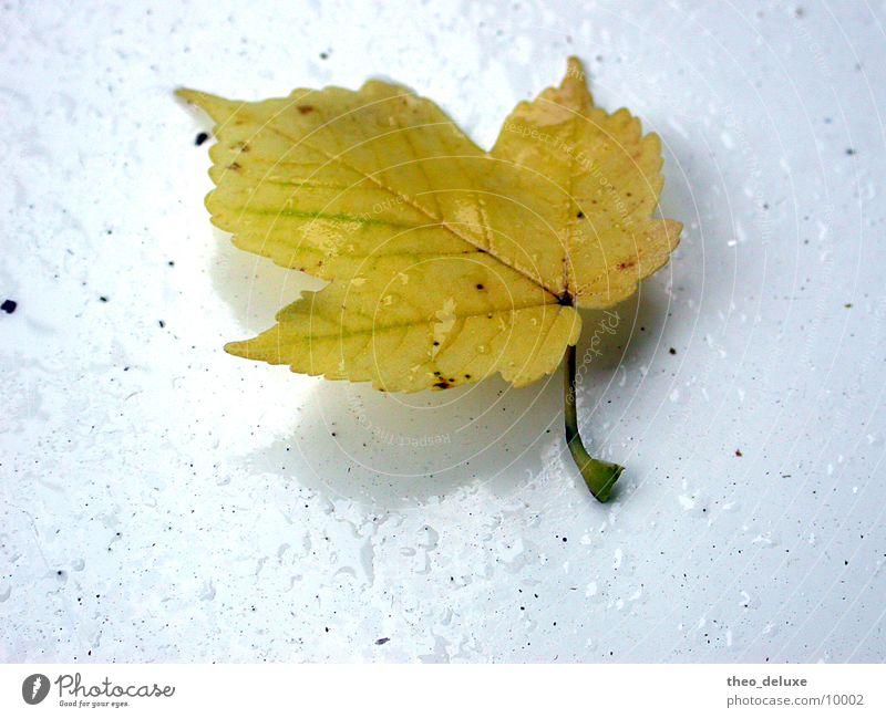 Blatt im Regen nass Oberfläche weiß Wasser Wassertropfen