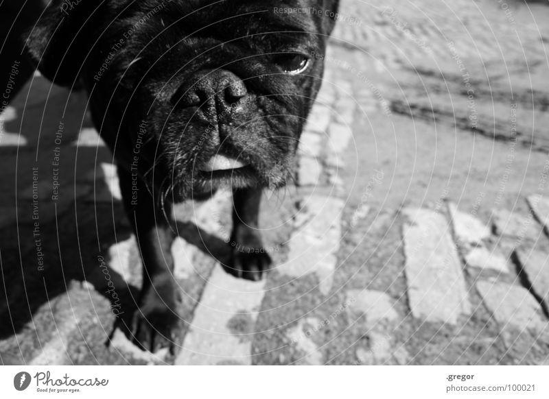 Mops Hund Schnauze schwarz Neugier verschlafen Säugetier niedlig geknautscht knautschen otto Müdigkeit Coolness