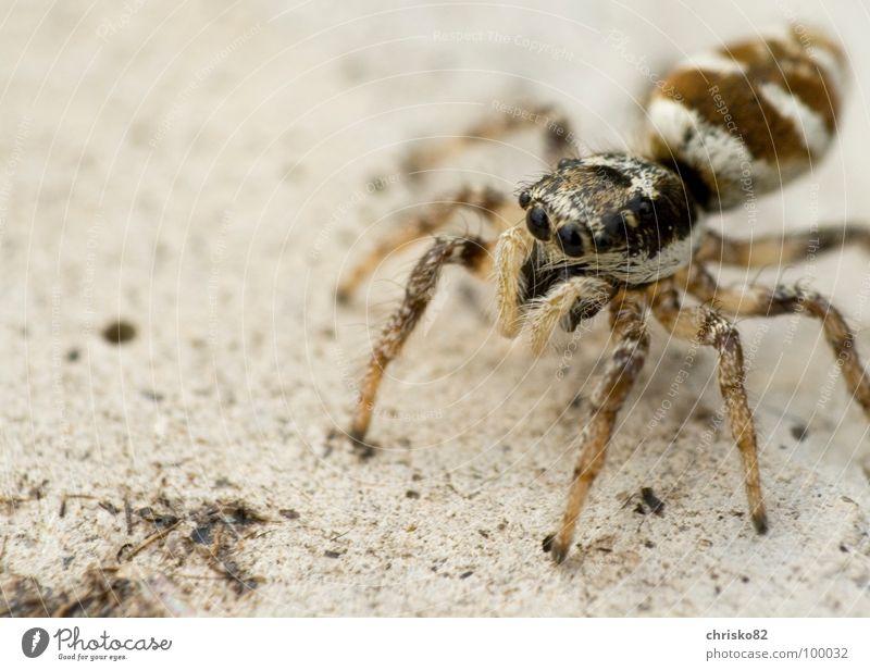 haariger Hüpfer Spinne Streifen springen hüpfen klein Geschwindigkeit Neugier Zebra krabbeln Spielen Beton winzig süß Fell Blick Angriff Defensive ruhig warten