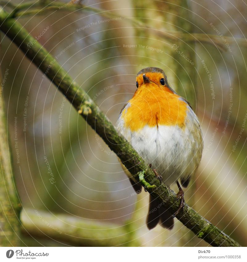 Robin, aufgeschreckt Umwelt Natur Tier Winter Baum Zweig Ast Garten Park Wald Wildtier Vogel Rotkehlchen Singvögel 1 beobachten sitzen frei kalt kuschlig