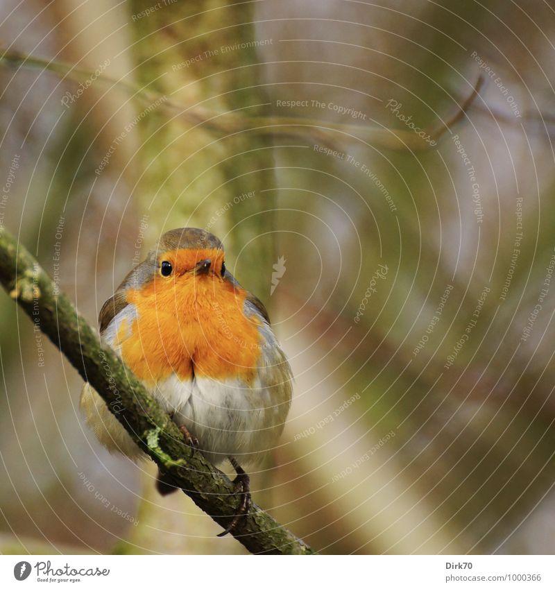 Robin on a twig Umwelt Natur Landschaft Tier Winter Pflanze Baum Zweige u. Äste Ast Park Wald Wildtier Vogel Singvögel Rotkehlchen 1 beobachten hocken Blick