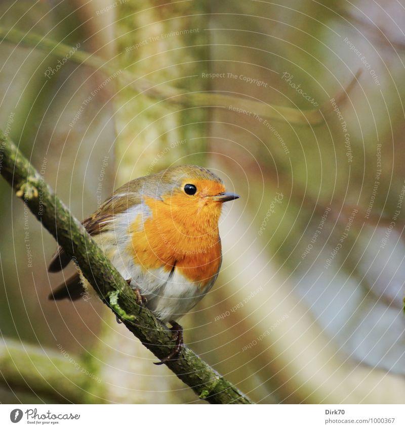 Sich wappnen gegen die Kälte. Tier Winter Baum Zweig Ast Wald Wildtier Vogel Rotkehlchen Singvögel 1 beobachten frieren hocken sitzen kalt klein Neugier