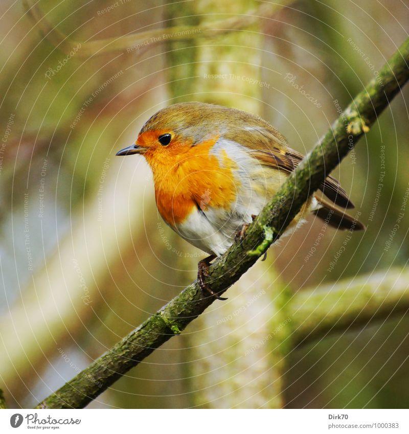 Hüter des geheimen Gartens Natur Winter Schönes Wetter Pflanze Baum Wald Baumstamm Zweig Zweige u. Äste Ast Park Tier Wildtier Vogel Singvögel Rotkehlchen 1