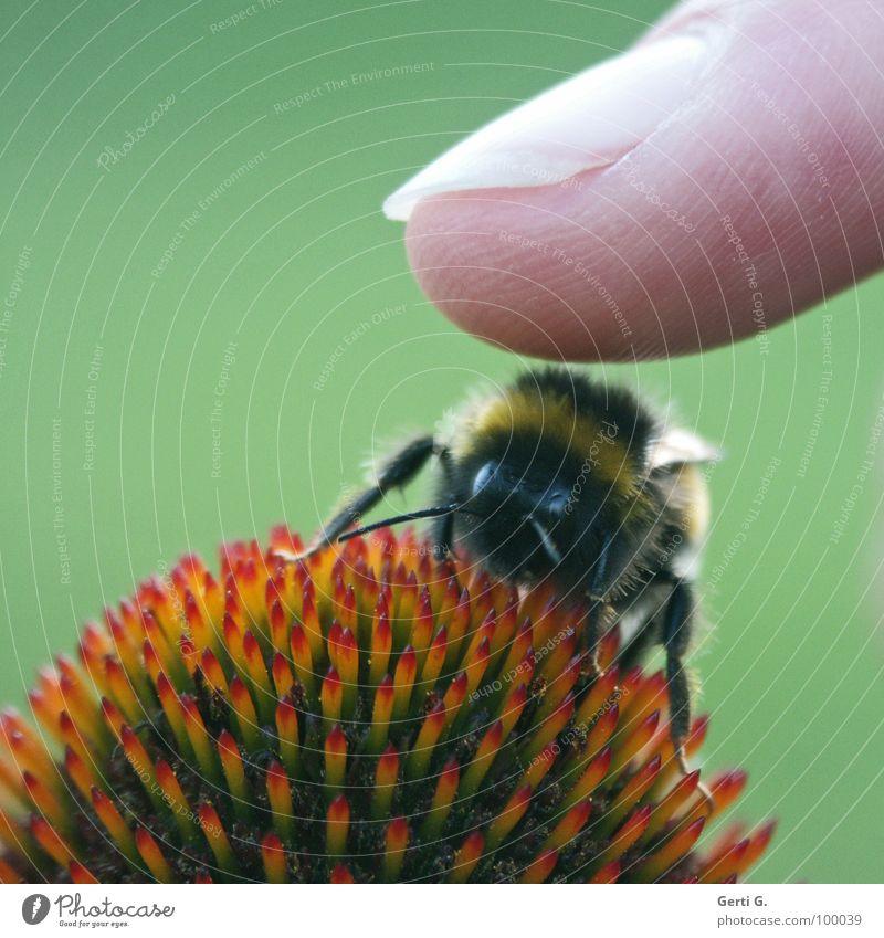 da touch grün rot Freude Blüte Beine Finger gefährlich Flügel Spitze berühren Biene Fingernagel Fühler Vorsicht gestreift Hummel