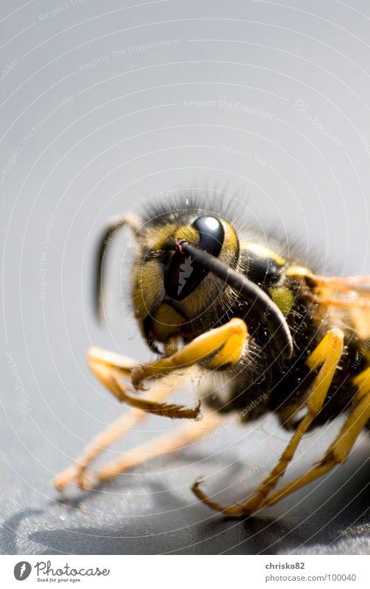 angriffslustig schön Tier schwarz Auge gelb Tod Beine Angst fliegen Arme elegant Luftverkehr Streifen Flügel Biene