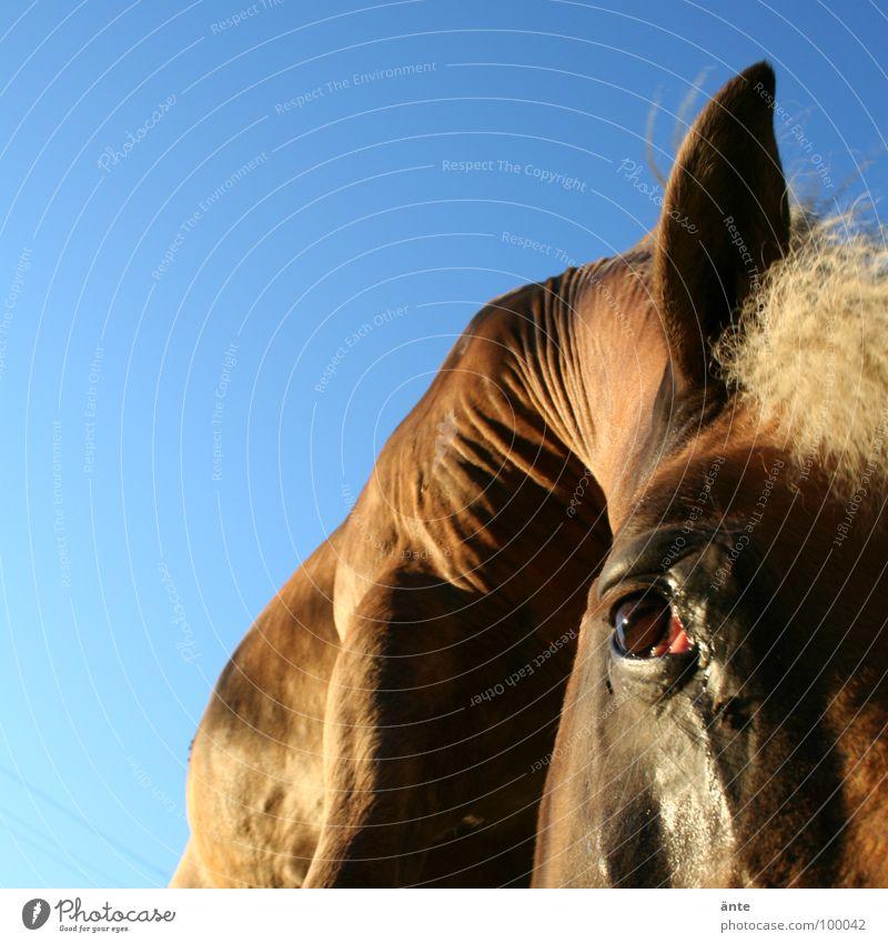 faltenwurf Sommer Tier Auge Traurigkeit Kraft fliegen groß Macht Pferd Trauer Ohr Fell nah Falte Wachsamkeit Säugetier