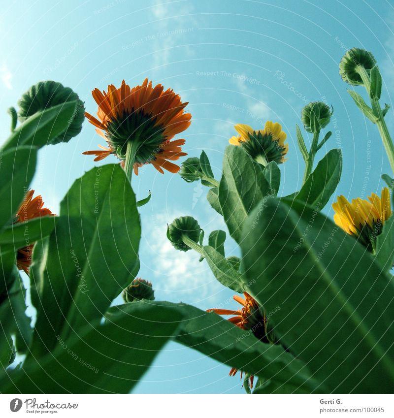 Caligula Ringelblume Tagetes Korbblütengewächs Heilpflanzen Kosmetik Schneckenabwehr Blüte Blume Pflanze mehrfarbig verrückt grün Froschperspektive Macht