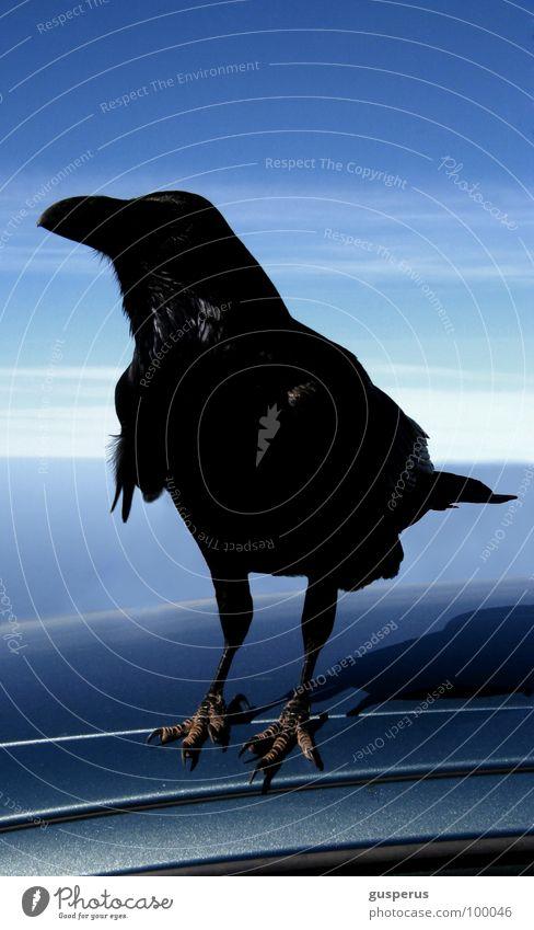 {kohlrabenschwarz} Rabenvögel Blauer Himmel Vogel Krähe Tier Federvieh Natur schwarzer vogel zutraulich raven black heaven blue black bird crow confidential