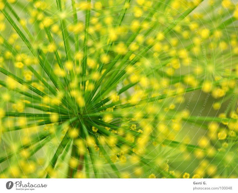 Schnill abstrakt gelb grün Dill Gartenpflanzen gepunktet Leitersprosse durcheinander Doldenblütler Heilpflanzen Fischgewürz Punkt Speichen Stengel wirrwar