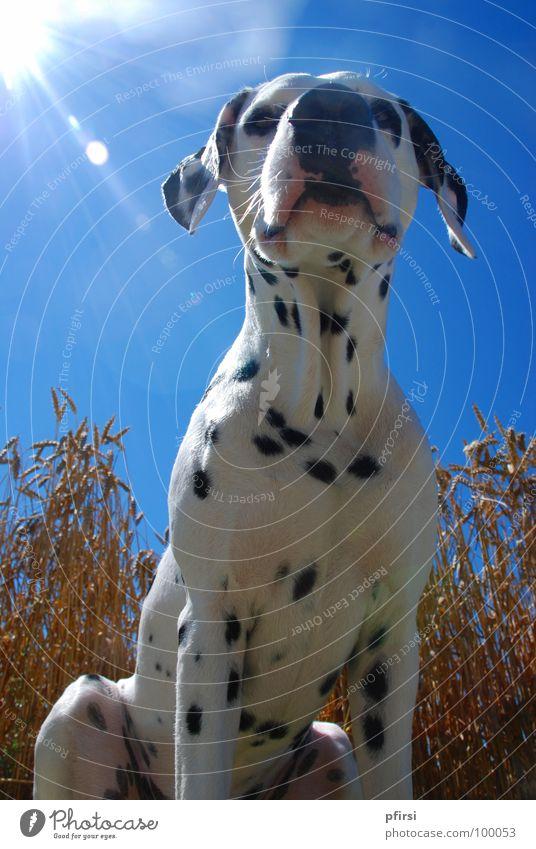 Ein Hund im Kornfeld Dalmatiner gepunktet weiß schwarz beige Weizen Feld Licht Schnauze Haustier Sommer heiß unten Säugetier dalmation dalmatian Punkt blau
