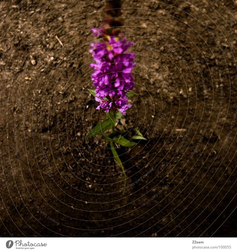 einsames blümchen Natur Pflanze Sommer Blume Einsamkeit Blüte Erde frisch Wachstum violett Geruch