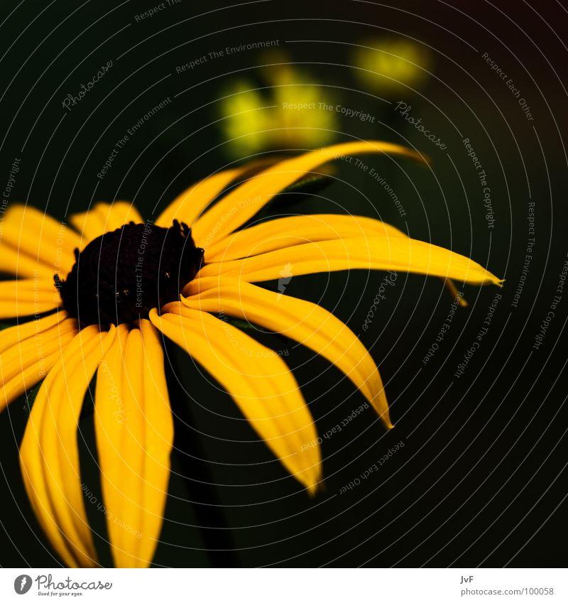 yellow Blume gelb Wachstum Frühling schön Garten Natur flower sonnengelb sun