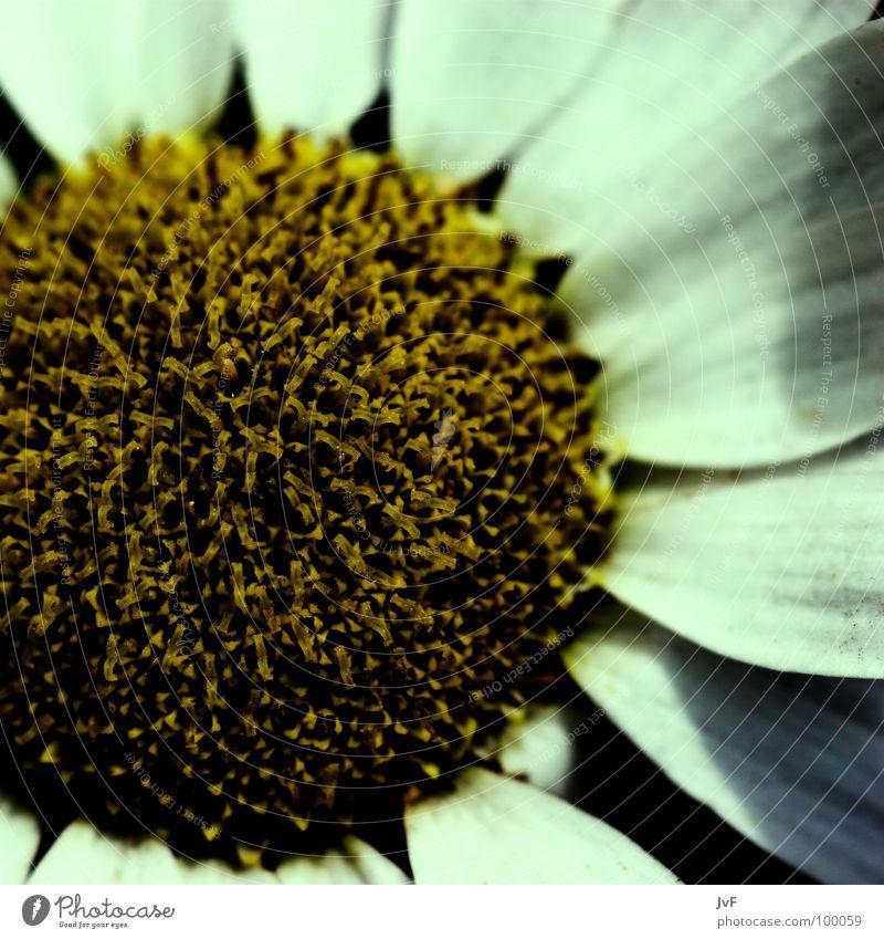 vergänglichkeit... Blume gelb weiß Makroaufnahme rund knallig aufmachen Sehnsucht Blütenblatt Margerite Staubfäden Biene Honig Frühling flower Kreis round