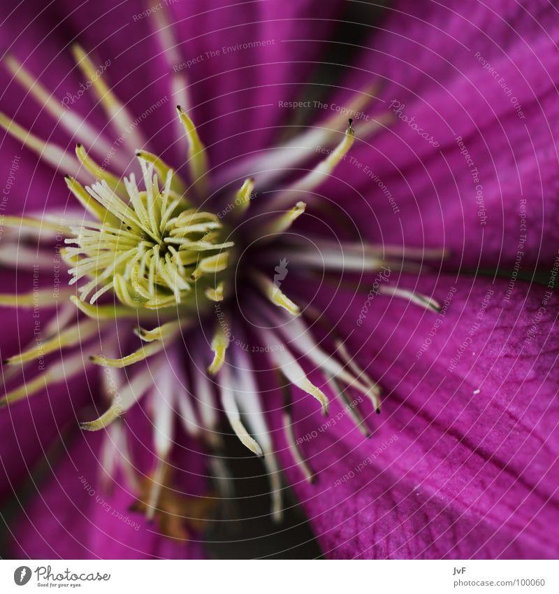 leben Blüte Blume violett nah Makroaufnahme aufmachen Frühling Waldrebe Pollen flower Leben Blühend ursprünglich