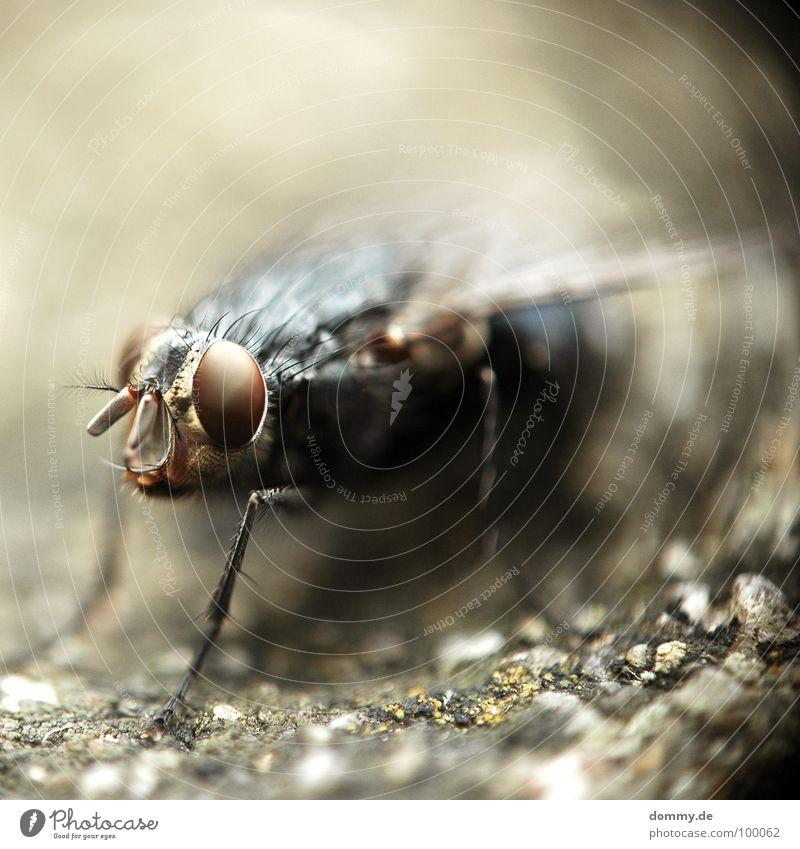 BUMBELBEE Auge Beine Angst Fliege fliegen rund Flügel Insekt gruselig direkt Tiefenschärfe böse Fühler Auge Wölbung Facettenauge