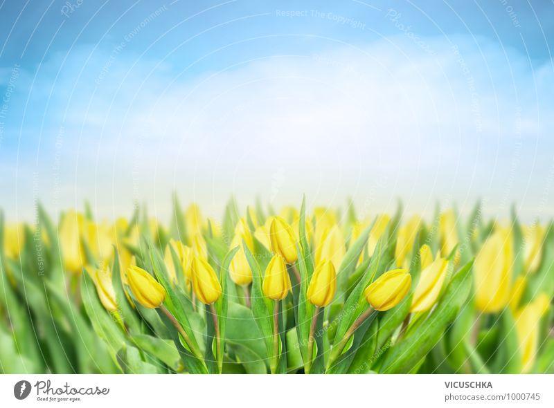 Gelbe Tulpen Feld mit blauem Himmel Natur Pflanze Sommer gelb Wiese Frühling Hintergrundbild Garten Park Design Blumenstrauß Frühlingsgefühle