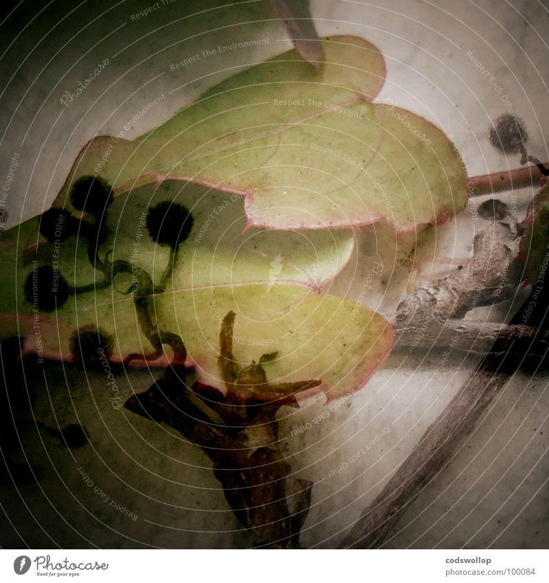 lovestone Wand Mauer Kräuter & Gewürze Baumstamm Gift Doppelbelichtung Wurzel Jungpflanze Immergrüne Pflanzen Araliengwächs