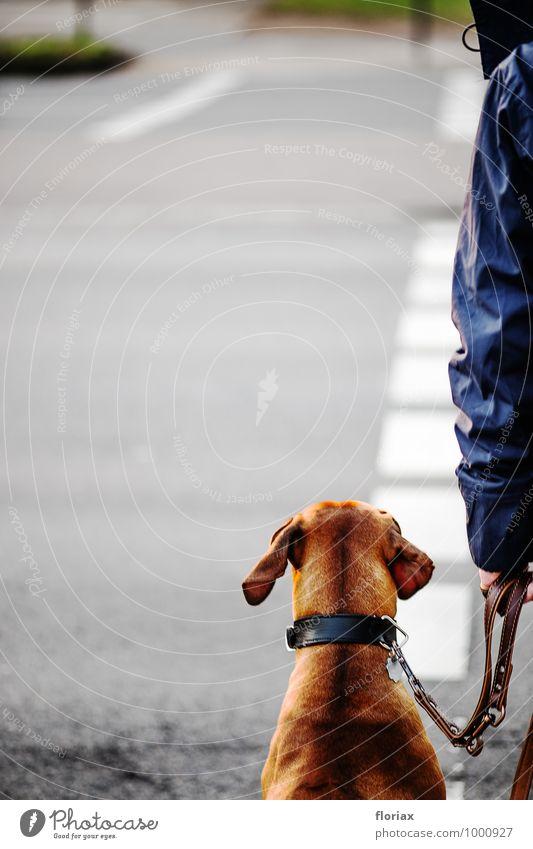 brav warten im straßenverkehr Stadt Stadtzentrum Verkehr Verkehrswege Straßenverkehr Fußgänger Verkehrsunfall Straßenkreuzung Wege & Pfade Tier Haustier Hund 1