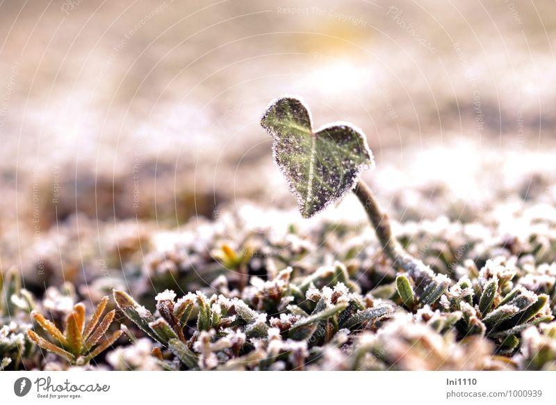 Herzblatt Natur Pflanze grün weiß Sonne Blatt schwarz kalt gelb Herbst natürlich grau Garten braun glänzend Park