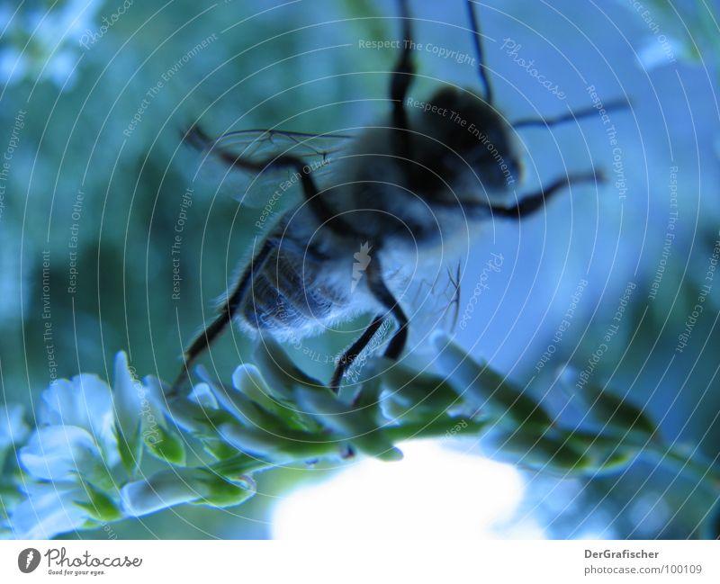 Blaue Biene hebt ab Blüte Insekt satt Honig Sammlung Abheben blau Makroaufnahme