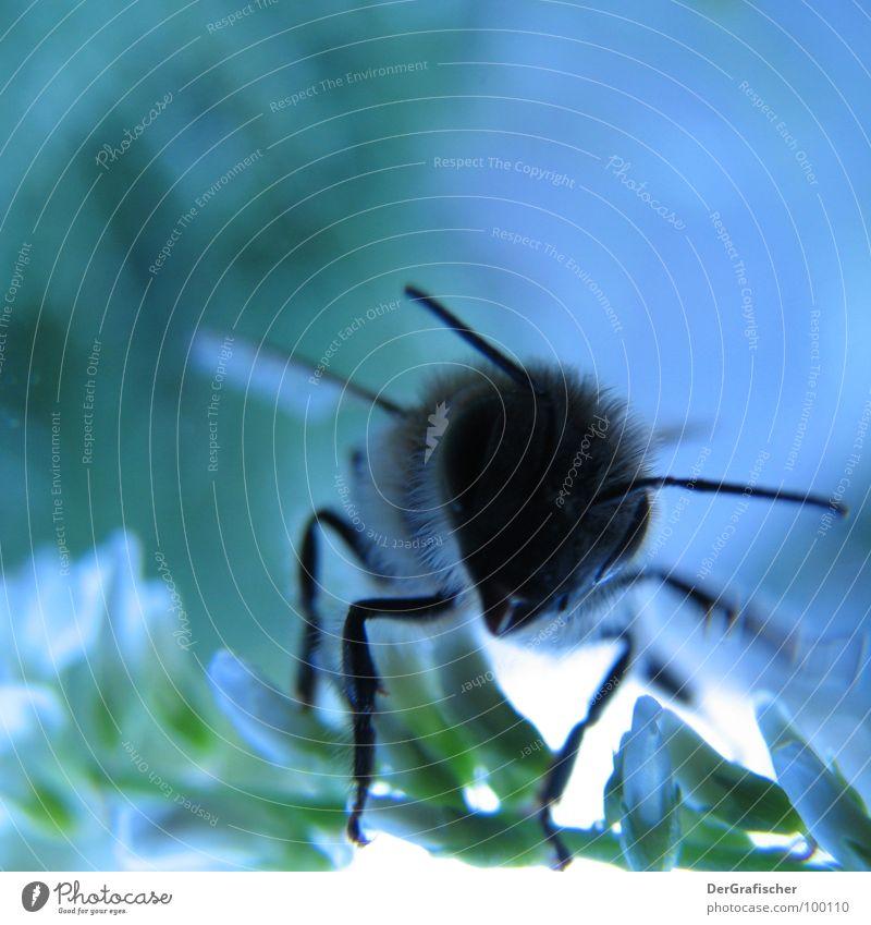 Blaue Biene hebt gleich ab blau Blüte Insekt Sammlung Abheben Honig satt