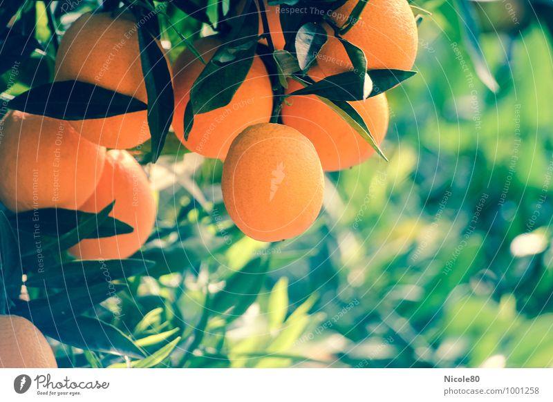 Orangen.Baum Pflanze grün Sommer Wärme Gesundheit orange Frucht Wachstum frisch Ernährung Mallorca mediterran Zitrusfrüchte Orangenbaum