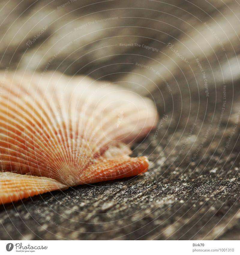Wort mit drei m Ferien & Urlaub & Reisen Tourismus Sommer Sommerurlaub Strand Natur Tier Totes Tier Muschel Schalenweichtier Muschelschale Jakobsmuschel 1