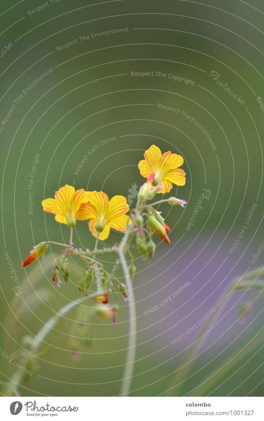 Peruanischer Sauerklee Salat Salatbeilage Tee Frühling Sommer Herbst Schönes Wetter Pflanze Blüte Grünpflanze Nutzpflanze Wildpflanze exotisch frisch sauer gelb