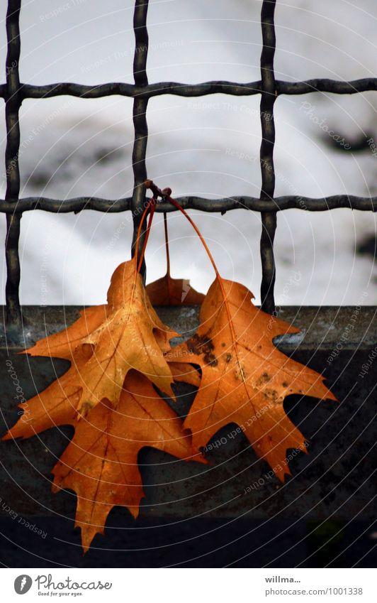 übungsblatt mit gitternetzlinien Blatt Eichenblatt Herbst Winter Schnee kalt Gitter hängen welk Vergänglichkeit Erholung Winterschlaf Außenaufnahme