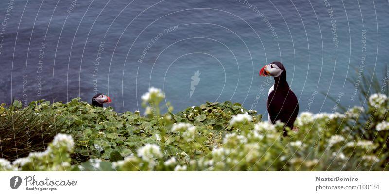 Clowns der Lüfte Natur Meer Blume Tier Blüte Gras Freiheit See Landschaft Vogel lustig fliegen Feder Island Halm Schnabel
