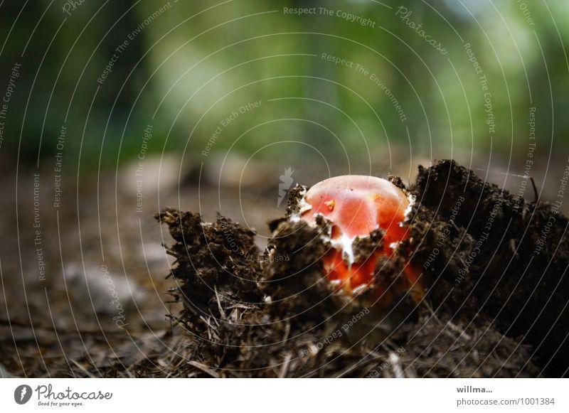 durchbruch Natur Herbst Fliegenpilz Pilz Wachstum rot Beginn Durchbruch Waldboden Kraft entstehen Farbfoto Außenaufnahme Menschenleer Textfreiraum oben