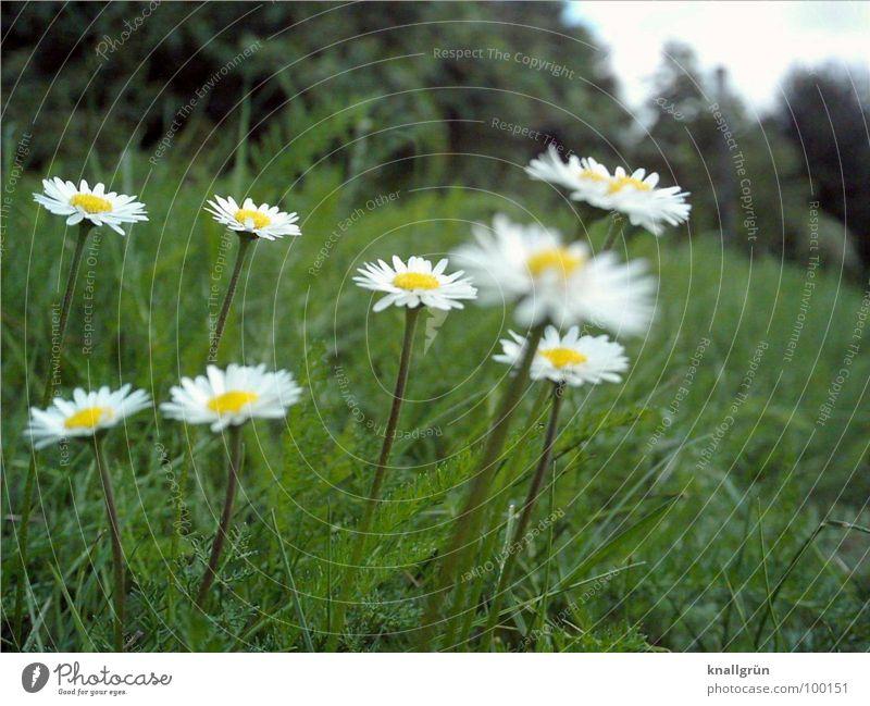 8 Gänseblümchen Wiese Blume grün Waldrand Froschperspektive Gras Sommer Pflanze Stengel Halm gelb weiß Natur Daisy Rasen