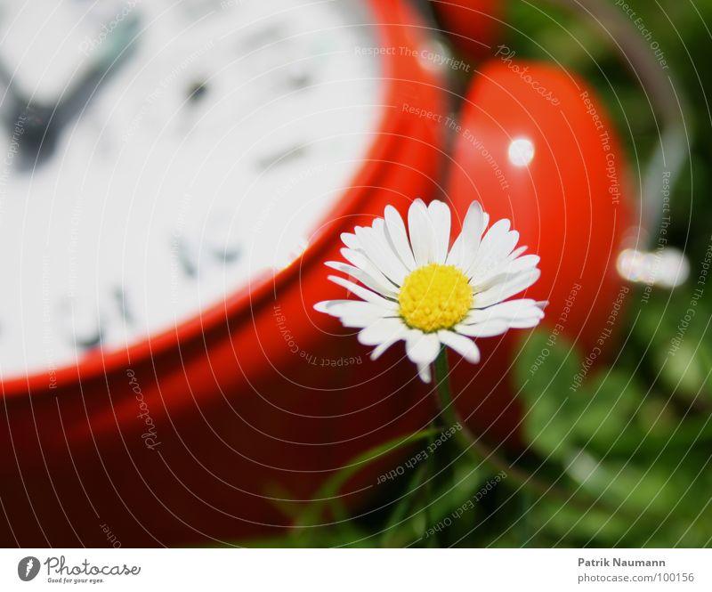 wieviel zeit bleibt mir noch? Wecker Uhr Zeit rot Unschärfe Gänseblümchen Blüte Blume Pflanze grün Gras Wiese Vergänglichkeit Sommer sommerlich Frühling