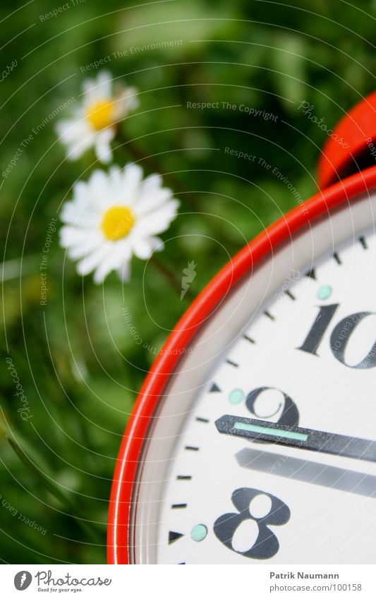 kurz vor... Gänseblümchen Wecker Uhr Zeit Ziffern & Zahlen 8 9 10 Vergänglichkeit rot Gras grün Blume Pflanze Blüte Unschärfe Sommer Frühling sommerlich Morgen