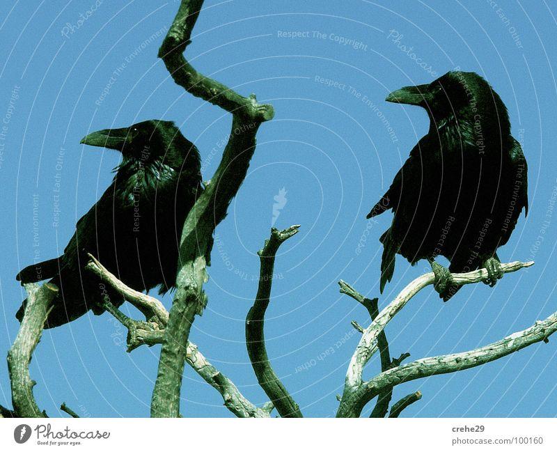 Doppelgänger Himmel Baum blau schwarz Vogel Aussicht Sträucher Ast Konzentration Desaster Zweig Zwilling Rabenvögel Krähe blau-grün