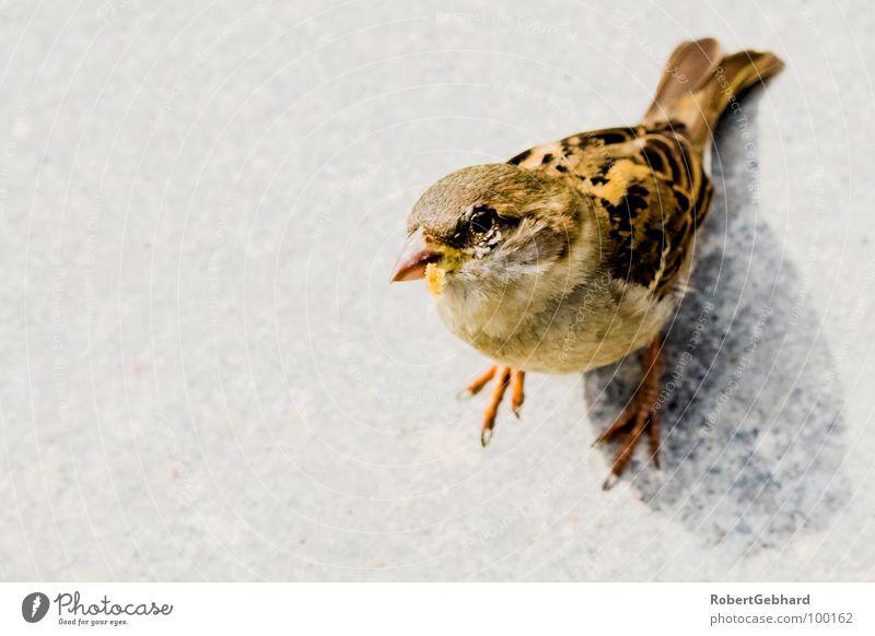 peep! Tier Vogel Spatz grau füttern Feder Haussperling Vertrauen Flügel Blick Neukiefervögel Passeridae Bodenbelag robert gebhard