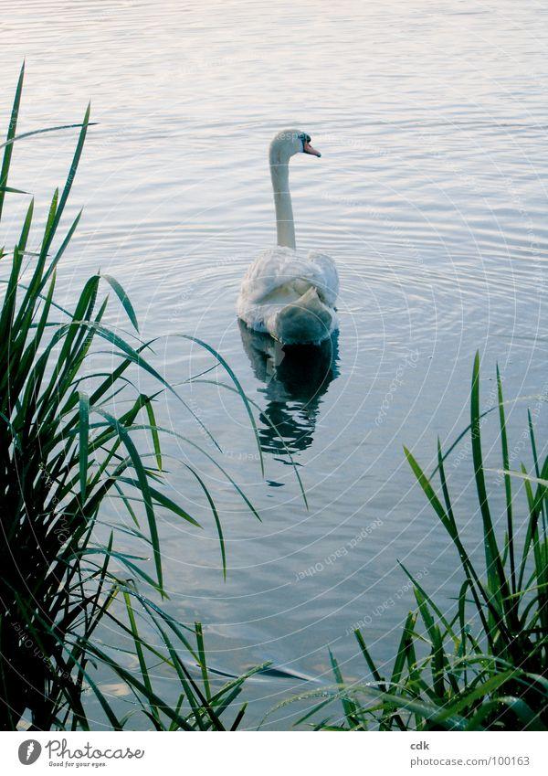 Schwanensee Natur Wasser schön weiß grün blau Sommer Einsamkeit Tier Bewegung See elegant Feder rein Schilfrohr