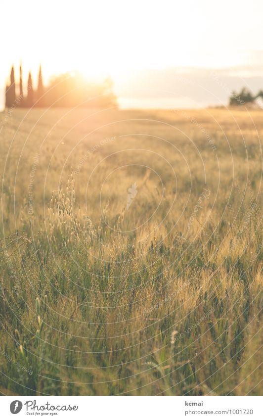Abends im Chianti Natur Pflanze schön grün Sommer Baum Landschaft ruhig Ferne Umwelt Wärme Gras Feld leuchten gold Warmherzigkeit