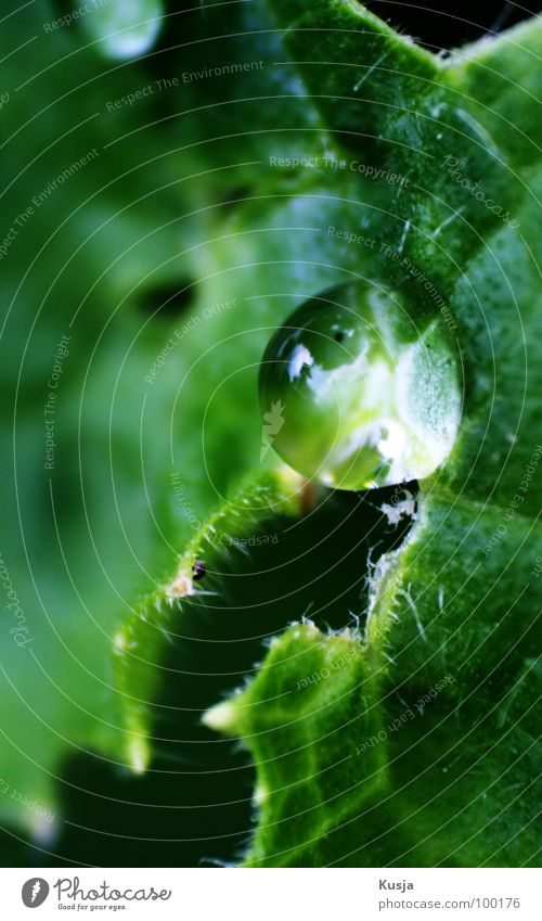 Kaplja feucht nass grün Garten Park Wassertropfen Gurkenblat Regen Makroaufnahme