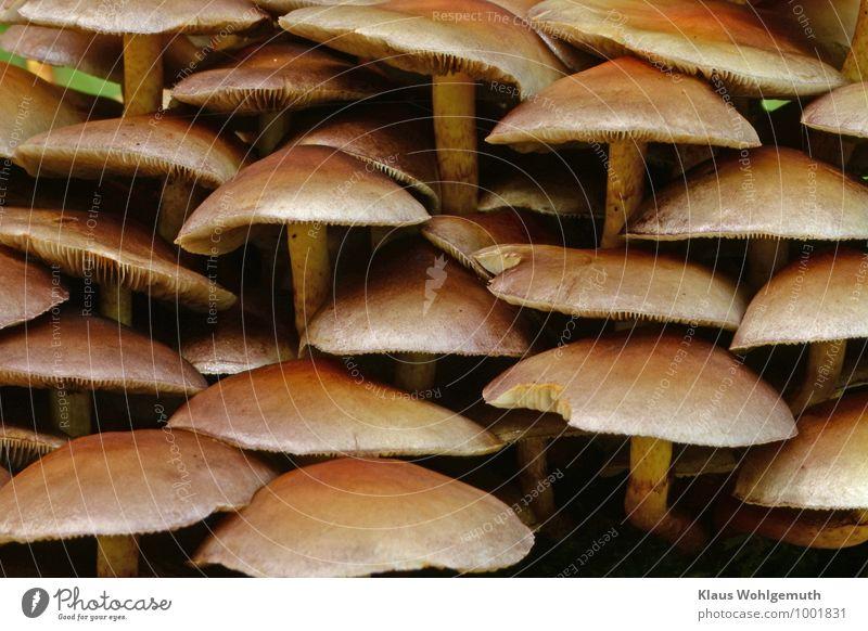 Zusammenhalt Lebensmittel Umwelt Natur Pflanze Herbst stehen Wachstum braun gelb Pilzhut Grünblättriger Schwefelkopf Farbfoto Außenaufnahme Nahaufnahme