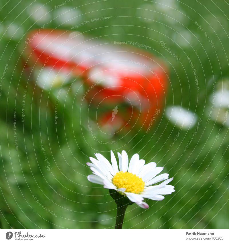 so spät schon? Unschärfe Tiefenschärfe Gänseblümchen Blüte Blume Pflanze Gras grün rot Sommer sommerlich Frühling Detailaufnahme Außenaufnahme Blühend