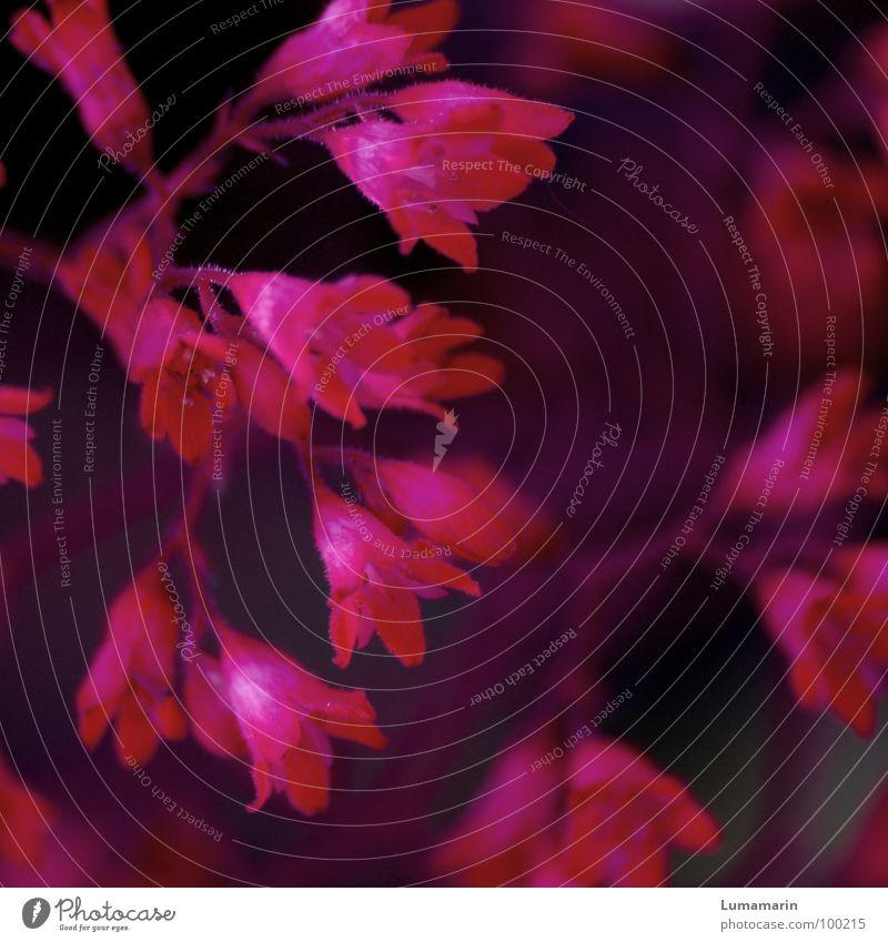 Purpurglöckchen Pflanze Blume Blüte mehrere rosa purpur magenta schwarz klein schön zart fein winzig Leuchtkraft Kraft stark dunkel lieblich Romantik Kitsch