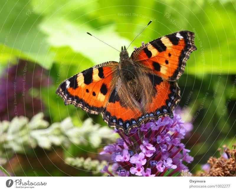 Fuchsschwanz Natur Tier Sommer Schönes Wetter Pflanze Blume Garten Feld Wildtier Schmetterling Flügel 1 Blühend Duft fliegen weich braun grün orange schön