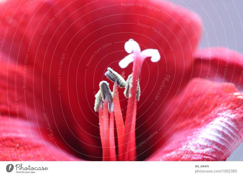 Red temptation Stil schön Wellness Sinnesorgane Valentinstag Natur Pflanze Blume Blüte Blütenblatt Blütenstempel Pollen Amaryllisgewächse Blütenkelch Garten